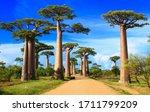 baobab street , madagascar africa