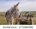 Donkey Pulling Wood Wagon On...