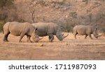 Three Wild Free White Rhinos