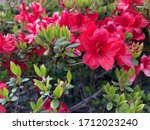 Red Azalea Flowers With Green...