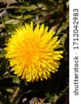 A Dandelion Flower Glows In The ...