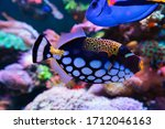 Clown Triggerfish  Balistoides...