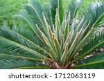 Sago Palm  Cycas Plant New Bud...