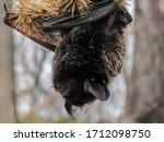 Little Brown Bat   Myotis...