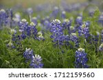 Bluebonnet Field By The Lake