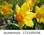 Jonquil Yellow Spring Flowers...