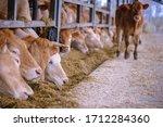 Cow Farm Concept  Agriculture...