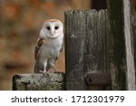 Barn Owl  Tyto Alba  Perched O...