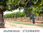 Large Bunches Of Ripe Red Wine...