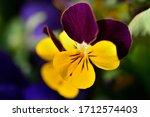Garden Pansy Flower In Spring...