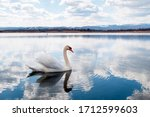White Majestic Swan Floating In ...