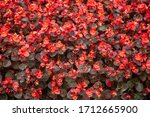 Thickets Of Red Flowers ...