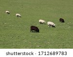A Small Herd Of Black And Whit...