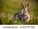 Wild Rabbit In The Grass  Close ...