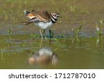 A Killdeer Standing In The...
