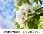 Flowering Branch Of Pear Tree....