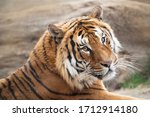Portrait Of Male Tiger  Zoo