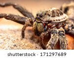 Macro Shot Of A Wolf Spider