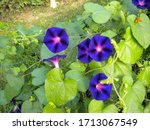 A Group Of Purple Morning Glory ...