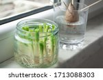 Growing Green Onions Scallions...