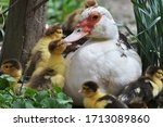 A Female Muscovy Duck   Cairin...