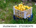 Harvesting. Ripening  Yellow...