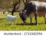 Big Cow And White Baby Goat...