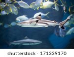 Reef Shark In Sea Environment...