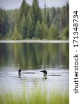 Loons On Mountain Lake ...