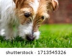 Jack Russell Terrier Puppy...
