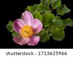 Rose Flower Of Peony  Lat....