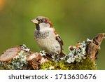Closeup Of A House Sparrow...