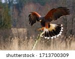 The harris's hawk  parabuteo...