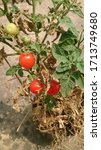 Small photo of Home grown tomato plant fully matured (indicated by the dry leaves), with three ripe voluptuous cherry tomatoes.