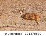 Chital Or Cheetal Deer  Axis...