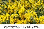 Furze  Gorse Plant And Blossoms
