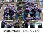 Flowering Wisteria Against The...