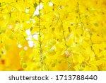 Close Up Cassia Fistula Flower...
