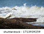 Snowy Egret Looking For A Meal