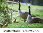 Canada Geese With Chicks  ...