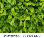 Fresh Green Beech Hedge  Leaves ...