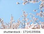 White Cherry Blossoms Bloom...