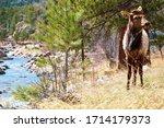 Young Bull Elk 2.  Estes Park, Colorado, USA.  Summer 2020. - stock photo