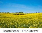 Yellow Rapeseed Field With Deep ...