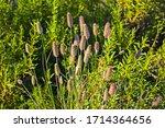 Wild Grass Seed Heads On Alien...