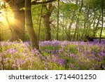 Bluebell Landscape Under The...
