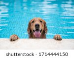 Golden Retriever Lying By The...