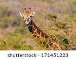 giraffe alert who you giraffe... | Shutterstock . vector #171451223