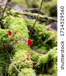 Bright Red Scarlet Elf Cup On A ...