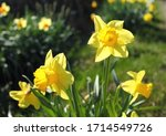 Close Up Of Daffodils In Full...
